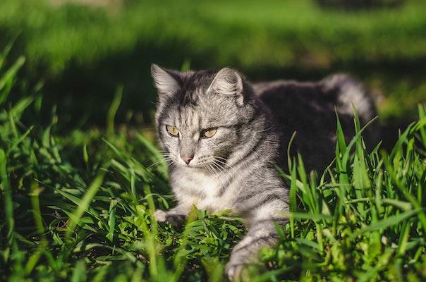 heartworm-disease-in-cats-tw